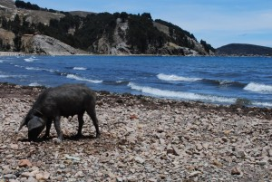 A pig on the beach of Lake Titicaca