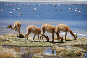 Llamas and flmaingos in the salar of Bolivia
