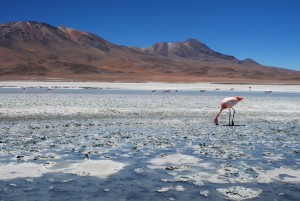 A flamingo in the lakes of Bolivia desert