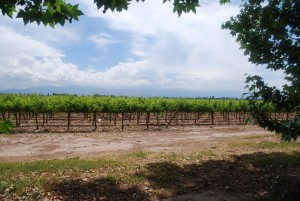 Mendoza Vineyards in Maipu
