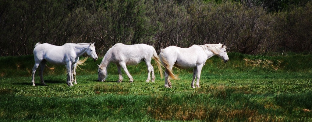 White horses of the Camargue France